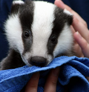 Badger being toweled off
