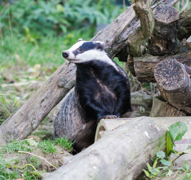 Badger inbetween logs