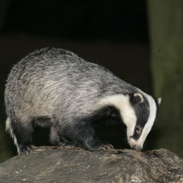 Boar badger