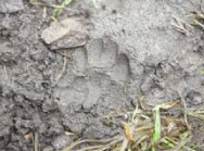 Badger paw print in mud