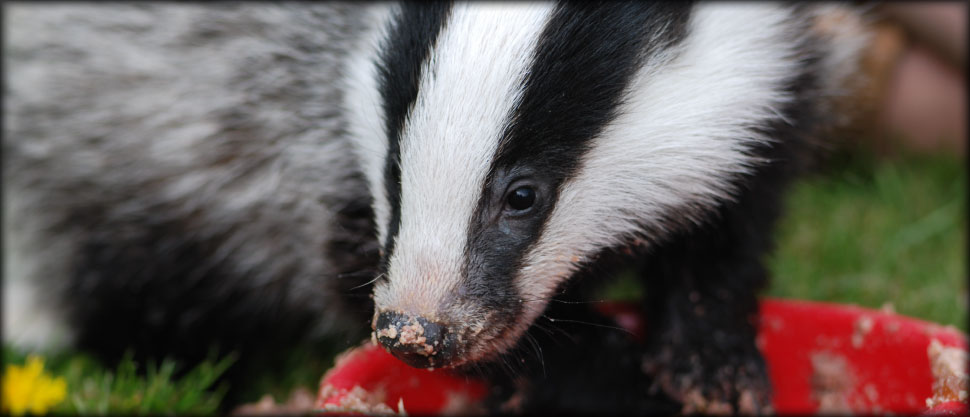 Badger eating